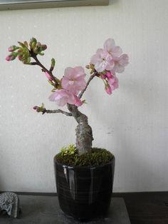 Mini bonsai, Sakura