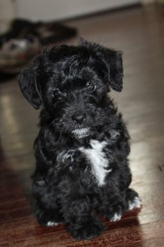 My baby schnoodle Chip