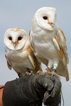 Barn Owls | Taken at The Raptor Foundation                                                                                                                                                      Mehr