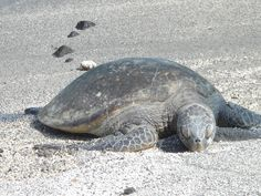 Green sea turtle at Pu`uhonua O Hōnaunau National Historical Park, HI