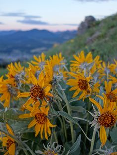 The wildflowers are really starting to bloom in the Rockies. Here's one great example from a recent excursion out to Mt. Saskatoon in the Crowsnest Pass area of Alberta. Canadian Rockies, Wildflowers, North America, Gate, Ranch, Bloom, Journey, Memories, Big