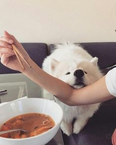 Samoyed - Tap the pin for the most adorable pawtastic fur baby apparel! You'll love the dog clothes and cat clothes! Animals And Pets, Baby Animals, Funny Animals, Cute Animals, Anime Animals, Funny Cats, Cute Puppies, Dogs And Puppies, Cute Dogs