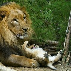 Play with me! |Photograph by ©Daniel Münger WildlifePlanet #wild #africa #animals #MasaiMara @natgeowild.hd #BigCatFamily