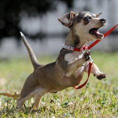 """The chihuahua - dauschund mix known as the """"Chiweenie.""""Image Credit: LakesidePets.com"""