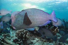 Giant bumphead parrotfish, Sipadan, Malaysia Sea Creatures, Bump, Diving, Wildlife, Fish, Island, Pets, World, Animals