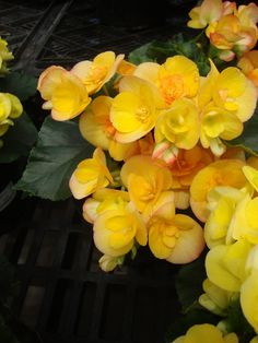 I love these yellow begonias!