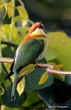 Chestnut-headed bee-eater -  Indian subcontinent and adjoining regions, ranging from India east to Southeast Asia, including Thailand, Malaysia and Indonesia.