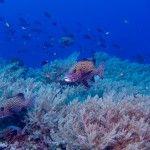 Rabbitfish at Tubbataha Natural Park, Diving, Nature, Naturaleza, Scuba Diving, Natural, Scenery