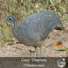 Grey Tinamou (Tinamus tao) Adult on a forest trail. Central America, South America, Ostriches, Forest Trail, Bird Species, Pet Birds, Tao, Animals And Pets, Habitats