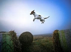 Anti Gravity Thursday is alive and well here at The Lodge - Stay tuned for more pix! Jack Russell Dogs, Jack Russell Terrier, Animals Beautiful, Cute Animals, Animals Dog, Flying Dog, Raining Cats And Dogs, Dog Photography, Poses