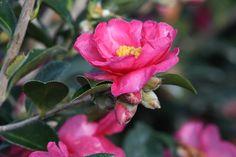 Shishi Gashira Camellia - Monrovia - Shishi Gashira Camellia - newest addition to our So Southern Gardens