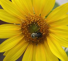 Sunflower & a Bee, by Trish James