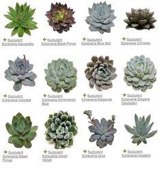 Botanical. Echeverias. Sempervivum.