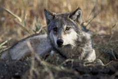<p>Although wolves are beautiful and majestic animals, they should never be kept as pets. Here are seven amazing sanctuaries dedicated to providing a forever home from abandoned wolves and wolfdogs.</p>