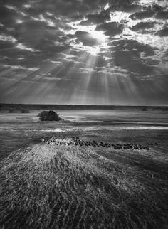 "Salgado/Genesis - ""Afrique- Troupeau de buffles, Zambie"