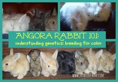 Angora Rabbit 101: understanding genetics and breeding your rabbits for color~JoybileeFarm