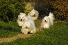 Hmmm... Another dog??? This time a Coton de Tulear
