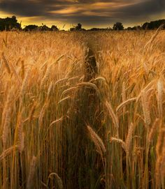 Fields of gold... Perfect hiding place..