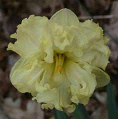 Daffodil 'Moonlight Serenade'