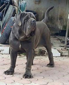 Falco Della Rupe Neo Mastiff, Mastiff Dog Breeds, Giant Dogs, Big Dogs, Dogs And Puppies, Neopolitan Mastiff, Massive Dogs, Group Of Dogs, Unusual Animals