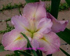 Lousiana Iris - Beausoleil