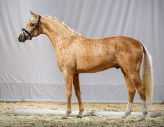 German & Dutch Riding Ponies | german-riding-pony-a-day