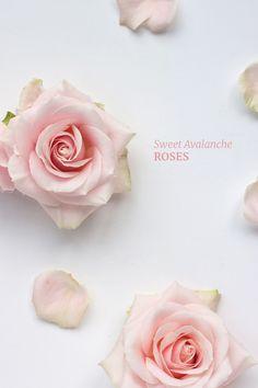 Gorgeously sweet Avalanche roses - big old English style heads Blog | Flowerona