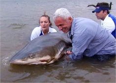 Jeremy Wade - A massive bull shark caught in southern Africa's Zambezi River Jeremy Wade, John Wade, Ocean Monsters, River Monsters, Wading River, All Sharks, Shark Photos, Monster Fishing, Water Life