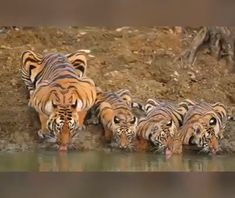Amazing photo of a 🐯 Tiger family sticking close to mum. Did you know at Tiger can run at speeds of and there raw can be heard… Nature Animals, Animals And Pets, Baby Animals, Funny Animals, Cute Animals, Wild Animals, Big Cats, Cats And Kittens, Cute Cats