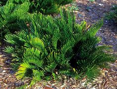 coontie fern - Google Search