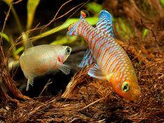Nothobranchius rachovii pair