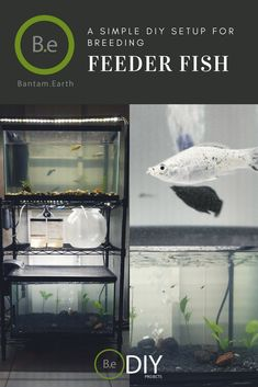 A step-by-step guide to setting up and managing a breeding feeder fish tank. What Are Feeder Fish? what are the fastest breeding fish? Diy Aquarium, Saltwater Aquarium, Planted Aquarium, Aquarium Ideas, Ferns Care, Fish Feeder, Reptile House, Fish Breeding, Diy Tank