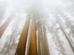 Great Sequoias