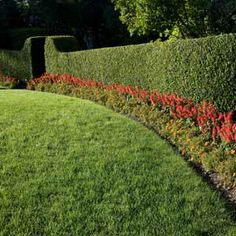How to Plant a Hedge #stepbystep