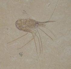 Carpopenaeus callirostri, an extinct genus of decapod shrimp, from the Cretaceous fine-grained limestone of Hjoula, Lebanon: