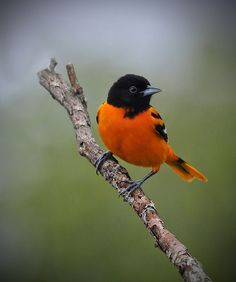 Baltimore Oriole (Male) by Birds