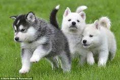 Husky babies awwwwwww (LOVE THEM)