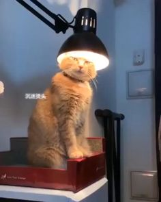 Not my brightest idea - your daily dose of funny cats - cute kittens - pet memes - pets in clothes - kitty breeds - sweet animal pictures - perfect photos for cat moms Funny Animal Memes, Funny Cat Videos, Funny Animal Pictures, Cat Memes, Funny Cats, Funny Memes, Funny Wuotes, Army Funny, Funny Videos Of Animals