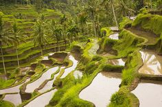 Rice terraces, palm trees and workers in Bali, Indonesia.