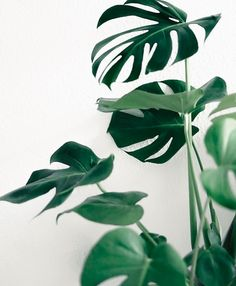 Monstera leaves WE LOVE - part of our botanical trend board, shop the look on ohwhatsthis.com #ohwhatsthis #monstera #green #shop#tropical #interiors #homewares #art