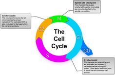 The eukaryotic cell cycle is a tightly regulated process controlled by three checkpoints. Defects in cell cycle regulation have been associated with cancer development. Markers such as BrdU, and PCNA can be used to study this process. Cell Cycle, Process Control, Mitosis, The Cell, Cancer, Learning, Mini, Teaching, Studying