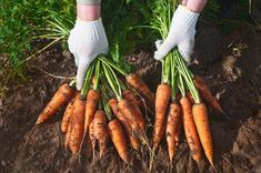 Learn how to grow carrots in your backyard vegetable garden! With these tips growing organic carrots from seed is easy in your garden. Enjoy the taste of fresh crunchy, sweet carrots all year long. Growing Carrots, Growing Herbs, Growing Vegetables, How To Store Carrots, How To Plant Carrots, Organic Compost, Grow Organic, Gardens, Edible Garden