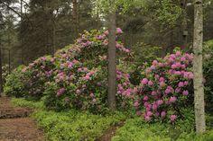 Rhododendron – alppiruusut