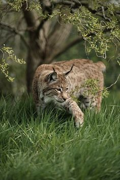 Eurasian Lynx by Colin Langford