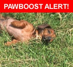 Is this your lost pet? Found in Round Rock, TX 78664. Please spread the word so we can find the owner!  Red Male Dachshund  Round Rock, Texas