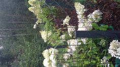 Syksyn ilona myös hortenssiat kukkivat. Toisin kuin viime vuonna kun en tajunnut lannoittaa niitä. Nämä kukat ihan sillä itsellään ravitut.