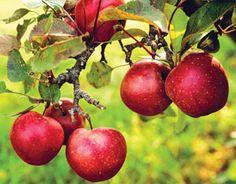 Growing Organic Apples from Mother Earth News - http://ucanr.edu/sites/placernevadasmallfarms/files/112366.pdf
