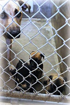 Odessa ~Mom & 2 puppies still need OUT!!!~~Shepherd mix female 1-2 years old & 3 puppies ~ Kennel A30~ Available NOW ****$35 to adopt puppies/ $51 for mom  Located at Odessa, Texas Animal Control.