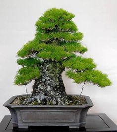 Pine bonsai with massive trunk