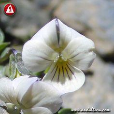 VIOLETA DE SIERRA NEVADA - Viola crassiuscula - Variedad Blanca Sierra Nevada, Vegetables, Plants, Naturaleza, Flowers, Vegetable Recipes, Plant, Veggies, Planets